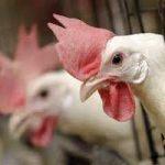 تفاوت قیمت با استانهای همجوار مشکل اصلی بازار مرغ در ایلام است