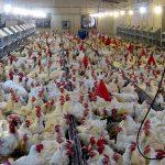 مرغ به اندازه کافی برای توزیع وجود دارد/با متخلفان برخورد تعزیراتی می شود