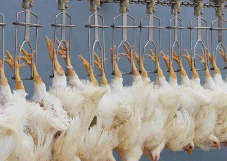 ۳۰ تن مرغ به بازار ایلام تزریق شد