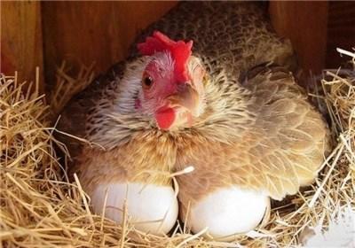 مردم استان مرغ و تخم مرغ مصرفی خود ر ا از مراکز مجاز تهیه کنن